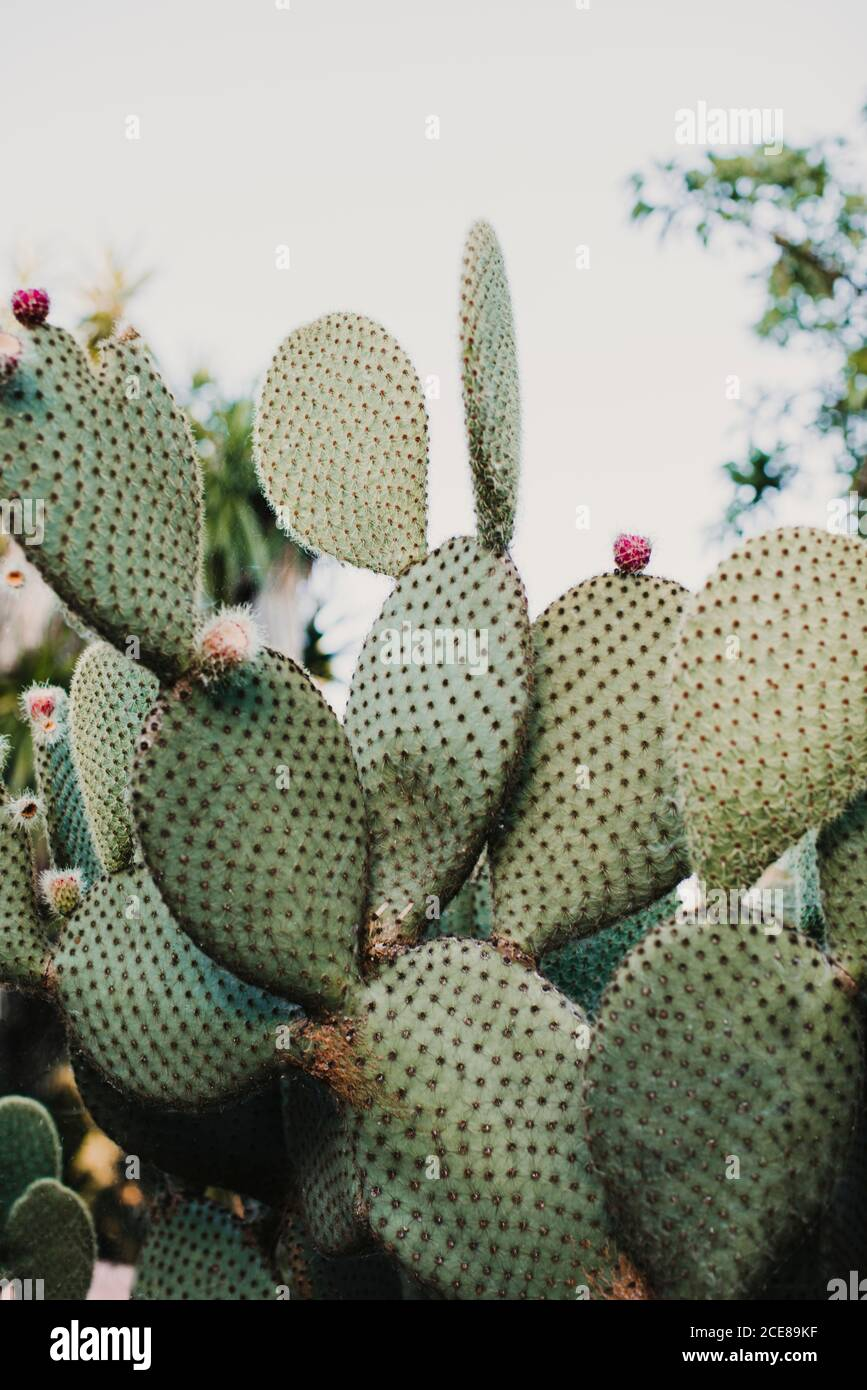 Angle élevé de plantes cactus vert pickly avec fleur délicate fleurs en serre Banque D'Images