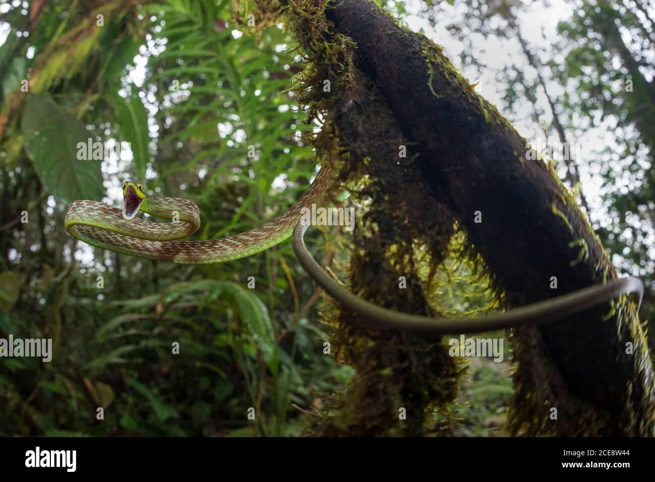 Angle bas d'Ahaetulla nasuta sifflement angry pendant la suspension arbre de mousse dans les bois Banque D'Images