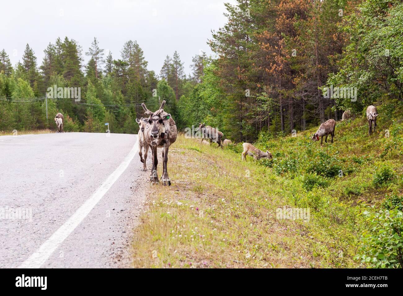 Rennes domestiques marchant sur une route en été en Laponie, dans le nord de la Finlande Banque D'Images
