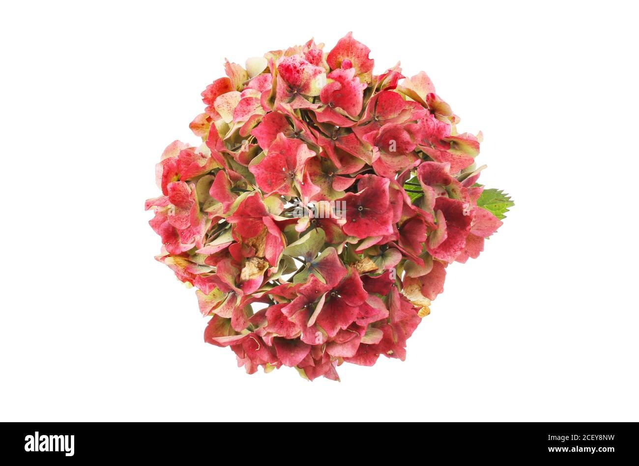 Tête de fleur rouge d'hortensia mourante isolée contre le blanc Banque D'Images