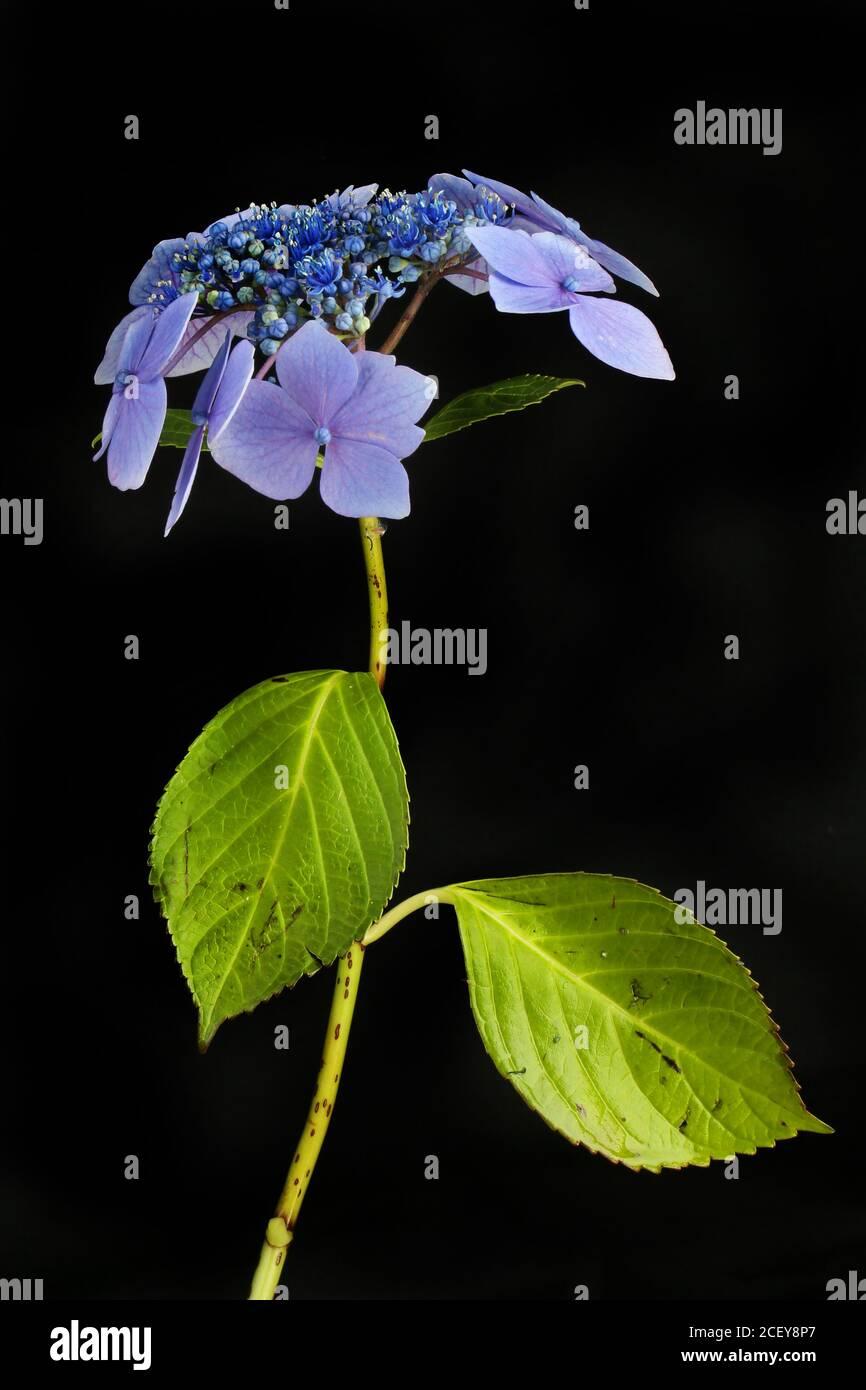 Fleur d'hortensia bleu pastel et feuillage isolés contre le noir Banque D'Images