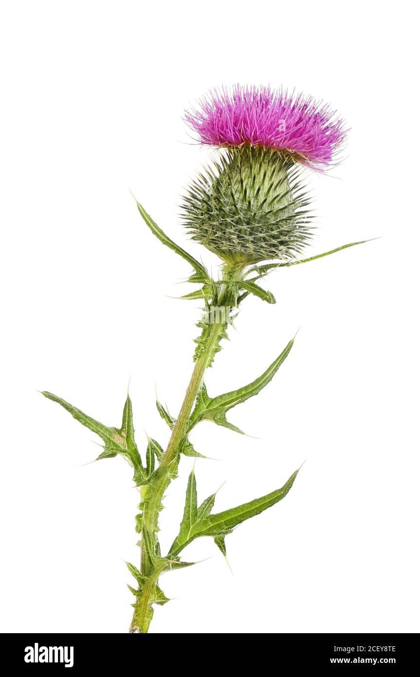 Fleur et feuillage de chardon de lance isolés contre le blanc Banque D'Images