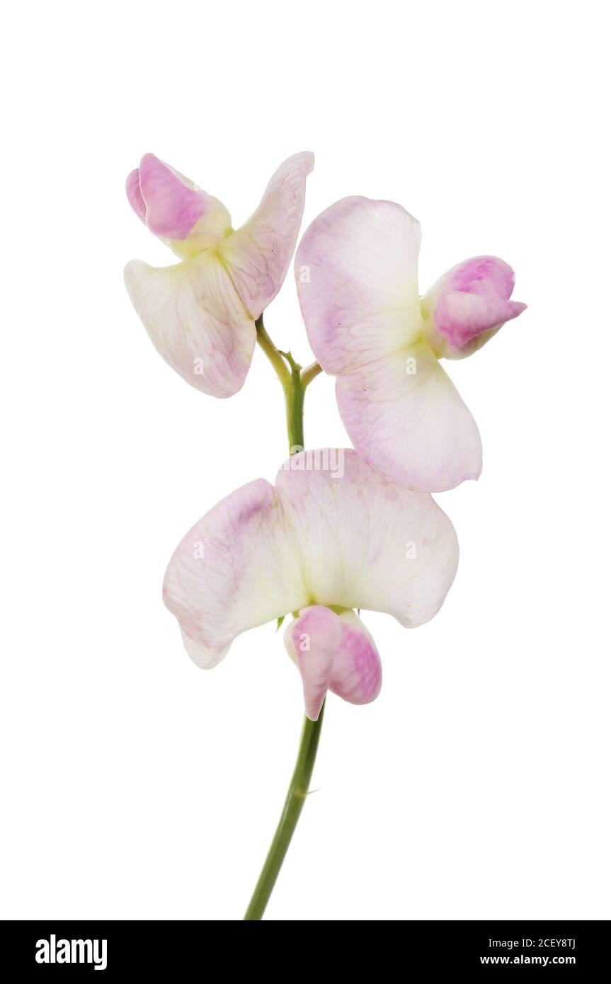 Gros plan de fleurs de pois doux isolées contre le blanc Banque D'Images