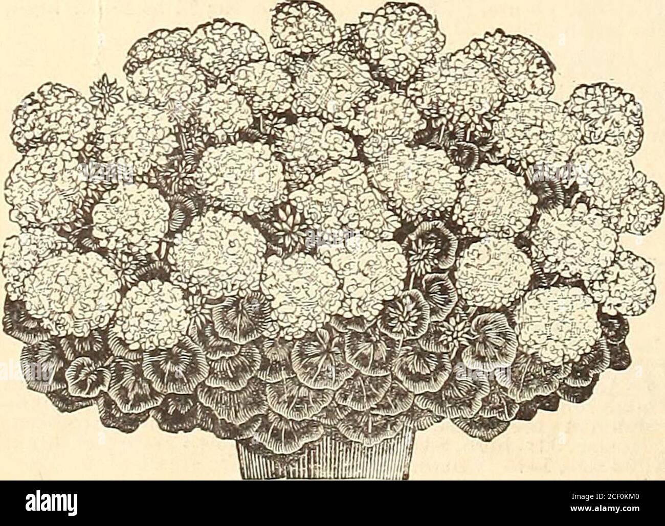 . WM. Elliott & Sons : 1893. FANTAISIE CALADIUMS... GÉRANIUM, CYGNE BLANC. FUCHSIAS SIMPLES. Annie Earle. Corolle de carmine ; sépales blancs cireux. Benjamin Pearson. Cramoisi et corolle pourpre; sépales rouge rosé. Prince noir. Tube et septum cireux carmin. Gyrophare. Corolle une carmine profonde ; sépales écarlate. Constance. Corolle unique, riche carmin ; sépales blancs ; fleurs grandes ; une très belle variété.Dr. Topinard. Sépales, grand rouge cerise; grande corolle ouverte, rose blanche pure marquée.comte de Beaconsfield. Corolle orange foncé ; très grande fleur.Ernest Renan. Corolle carmin ; sépales White.Little Alice. Banque D'Images