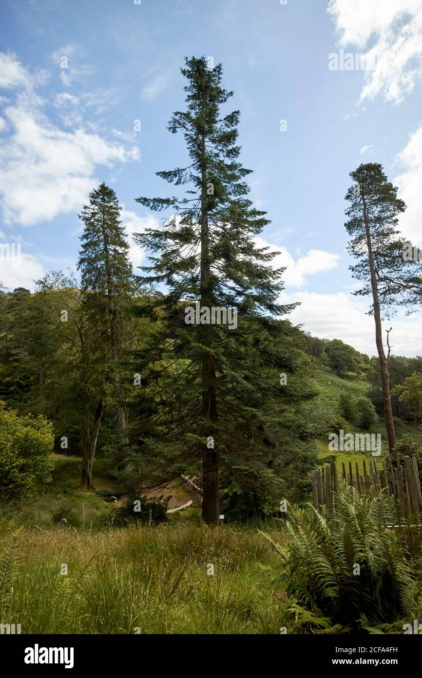 arbres dans la confiance nationale haut proche arboretum loughrigg lake district parc national cumbria angleterre royaume-uni Banque D'Images