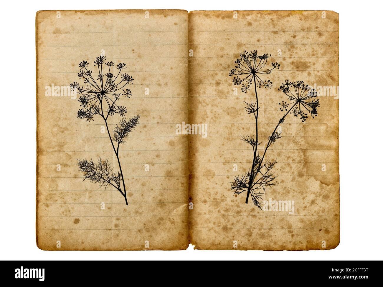 Livre de l'ancienne école avec dessin d'usine d'aneth. Texture du papier vieilli Banque D'Images