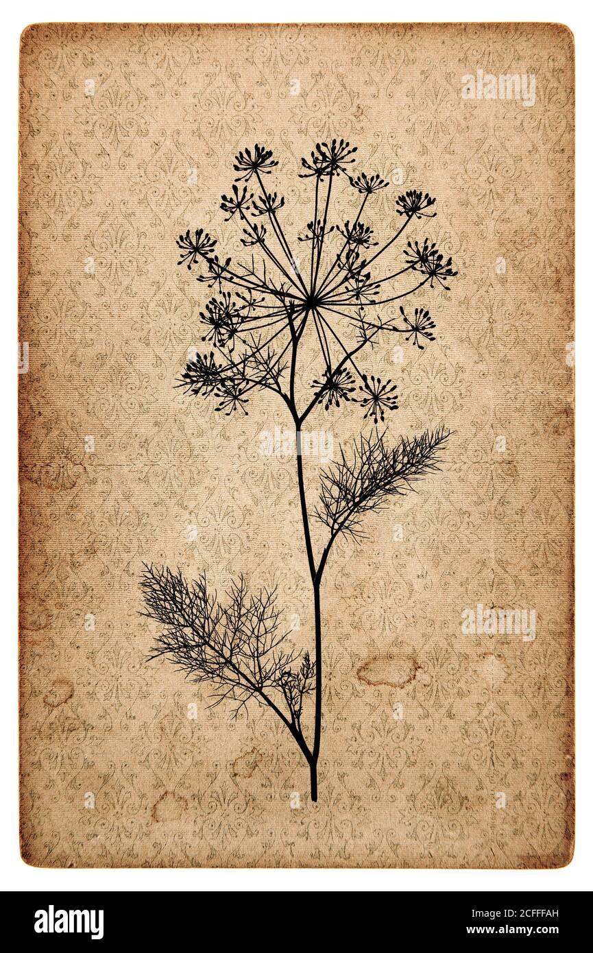 Texture de papier vieilli avec silhouette de plante de l'aneth. Fond de carton vintage Banque D'Images
