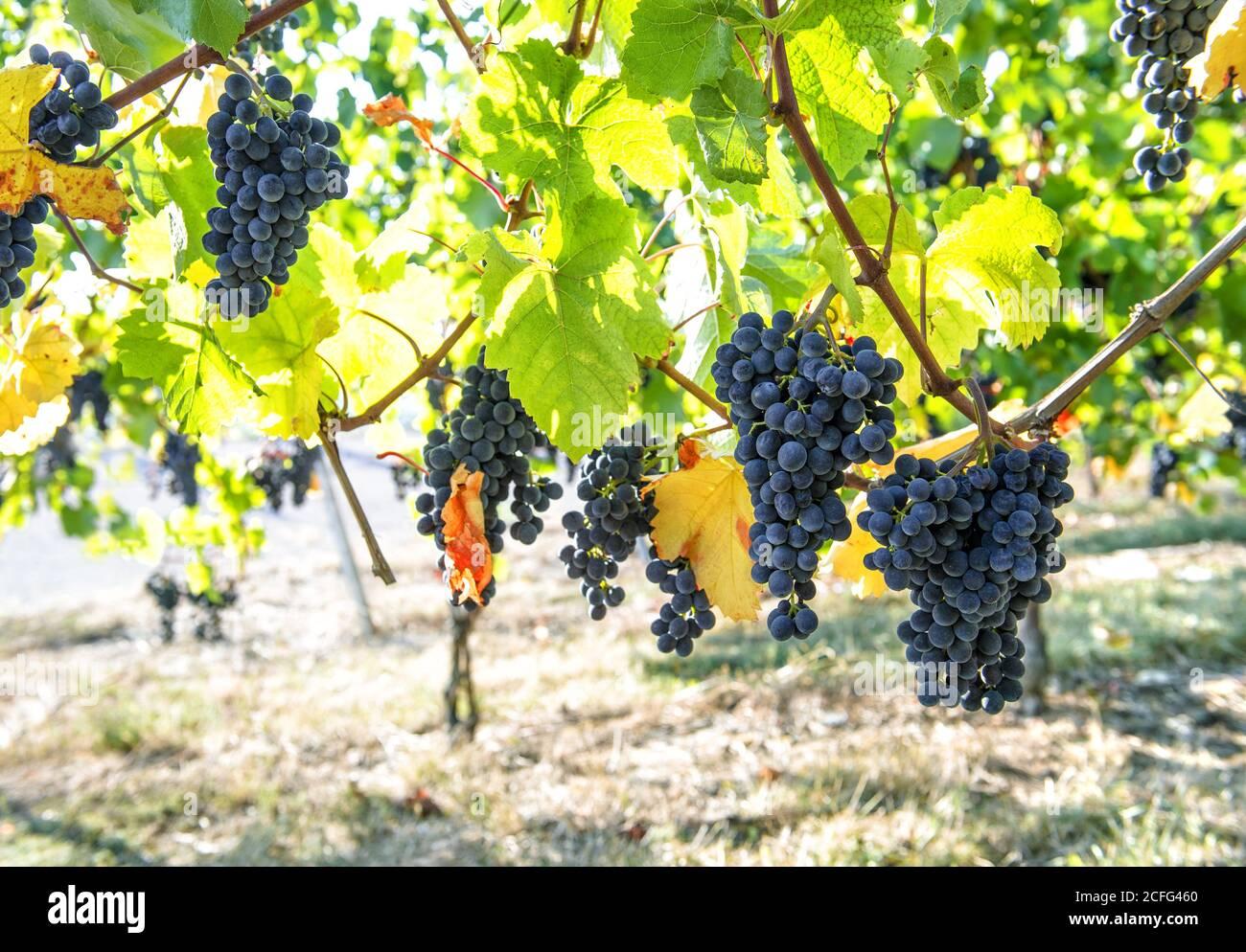 Raisins avec des feuilles rouges jaunes vertes sur la vigne. Paysage d'automne Banque D'Images