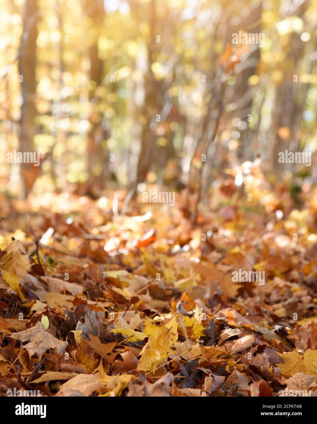 Un magnifique arrière-plan de feuillage d'automne avec copyspace et des feuilles d'orange avec soleil pour un message de saison Banque D'Images