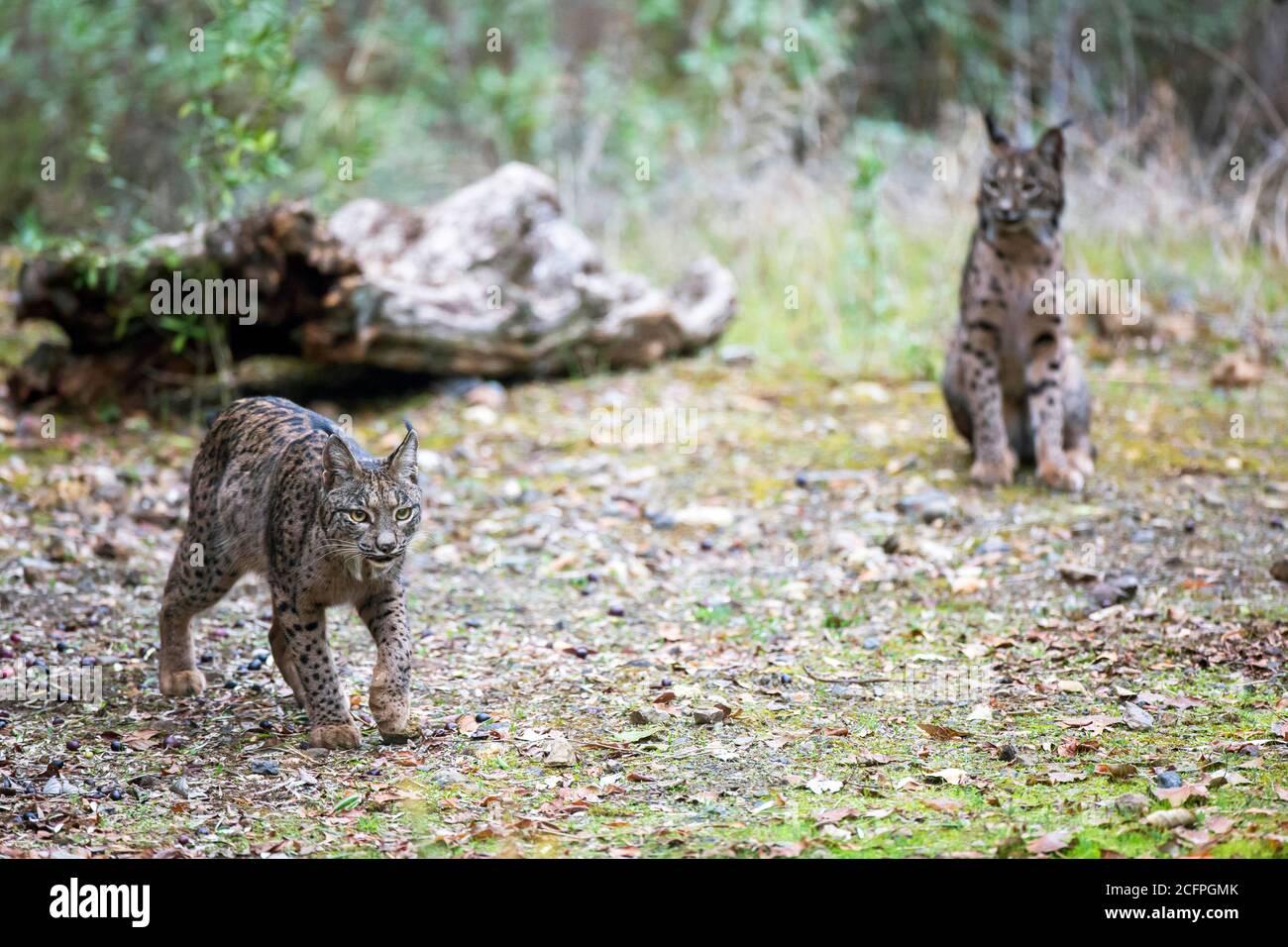 Lynx ibérique (Lynx pardinus), paire, Espagne Banque D'Images