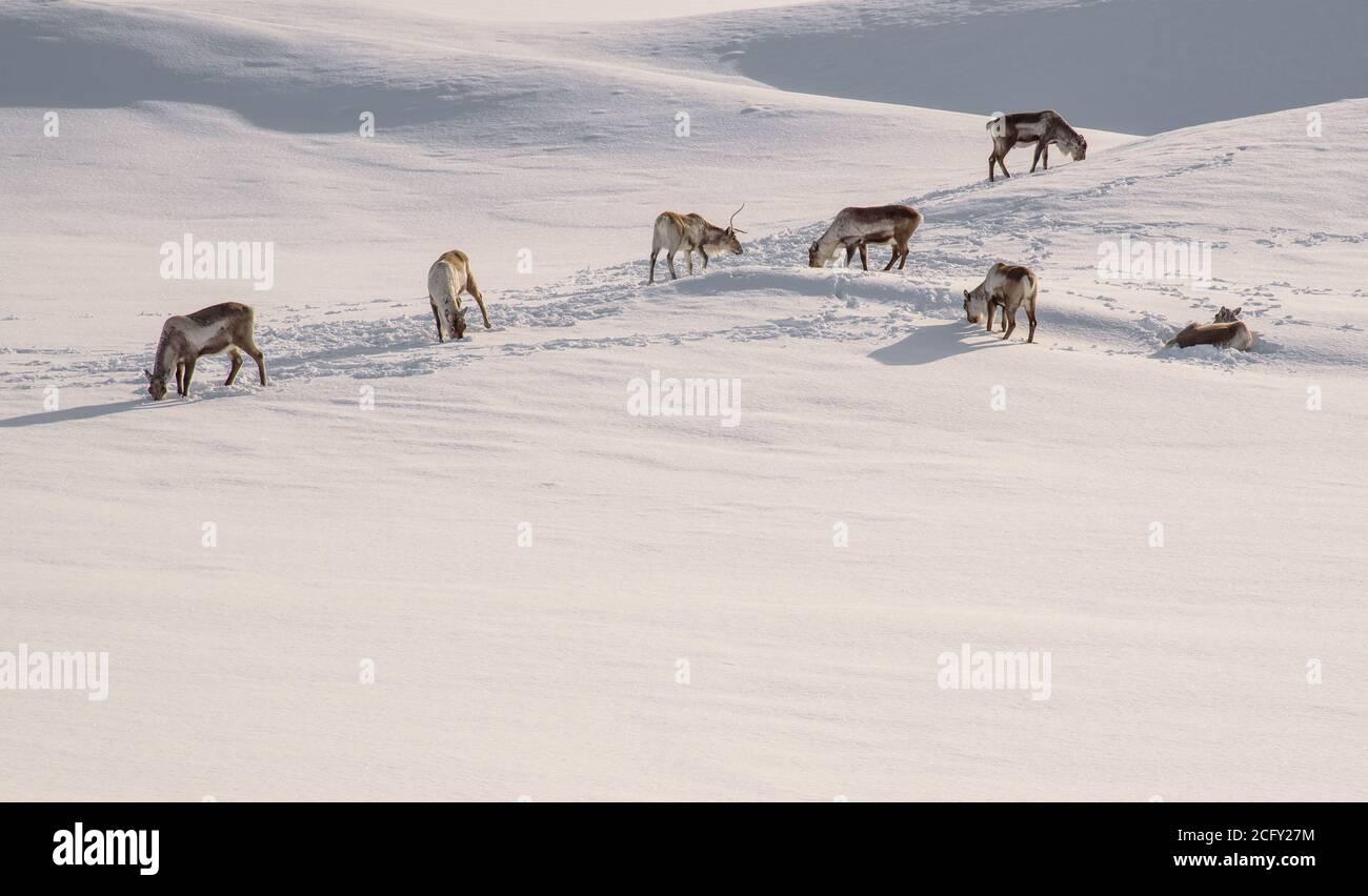 Rennes sauvages à la recherche de nourriture dans la neige profonde Islande Banque D'Images