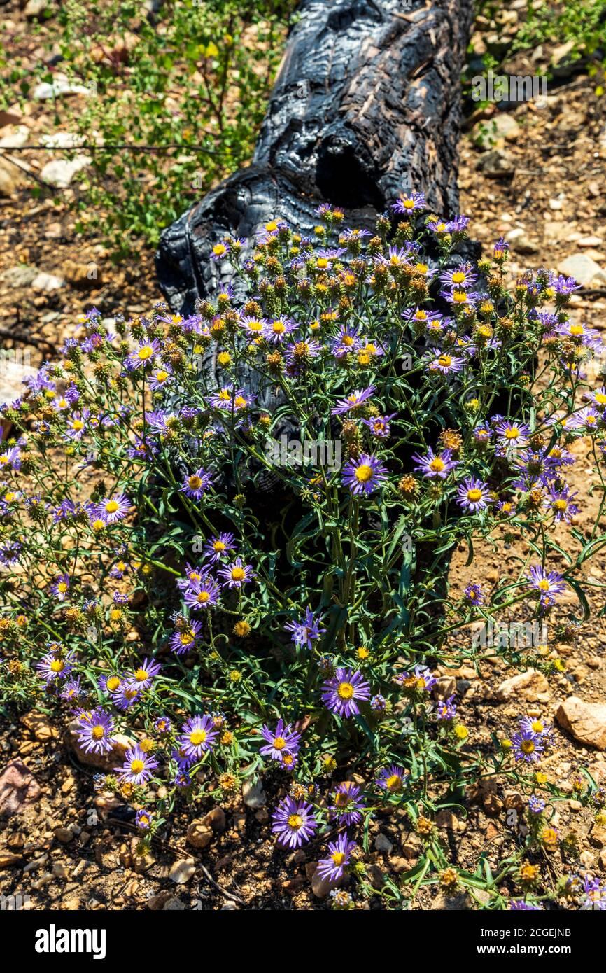 Machaeranthera bigelovii; Machaeranthera pattersonii; Asteraceae; tournesol; fleurs sauvages poussant au site du feu de forêt de Decker; montagnes Rocheuses, Centr Banque D'Images