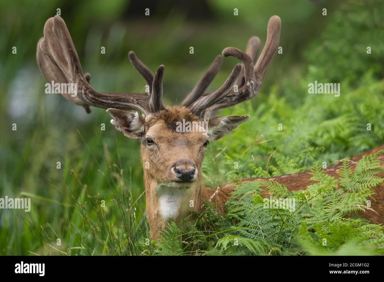 Flow Deer Buck parmi les herbes Bushy Park Londres Banque D'Images
