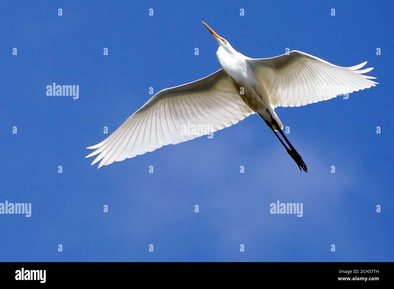 Grands Egrets dans l'habitat du marais Banque D'Images