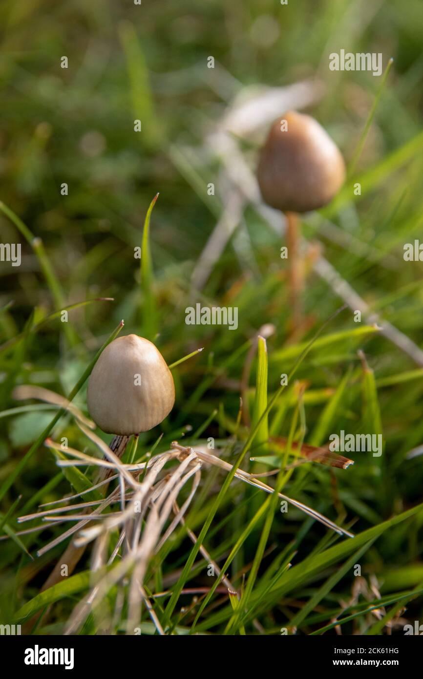 une paire de chapeaux de liberté ou de champignons magiques qui poussent à l'état sauvage dans un champ Banque D'Images