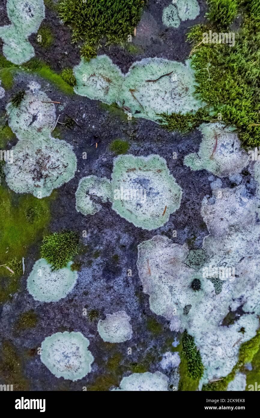 Lichen croustillant poussant sur la roche le long du sentier Heliotrope Ridge Trail, forêt nationale Mount Baker-Snoqualmie, État de Washington, États-Unis Banque D'Images