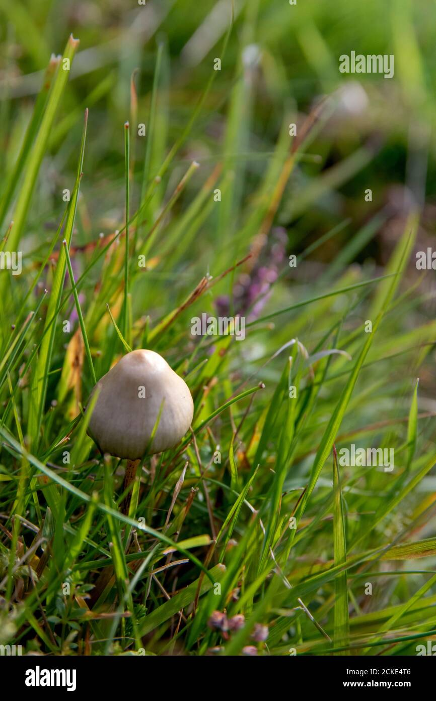 une image rapprochée d'un champignon liberty cap dans un champ Banque D'Images