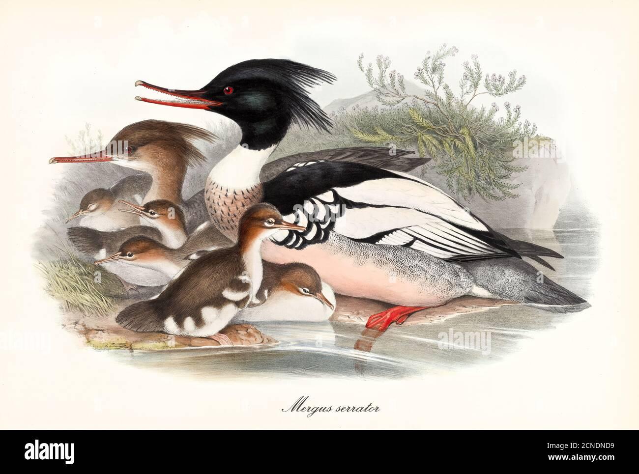 Famille d'oiseaux à bec dentelé Merganser à poitrine rouge (Mergus serrator) posant une vue de profil sur une rive d'étang avec des petits. Art par John Gould 1862-1873 Banque D'Images