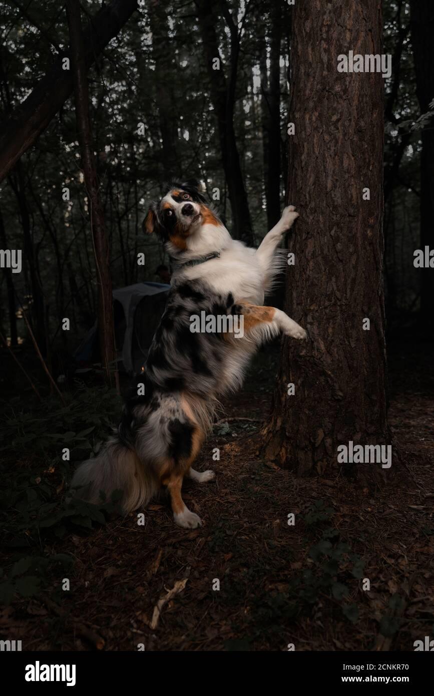 Portrait de l'Australie, Australian Border Collie. Berger australien. Chien Purebreed dans la forêt automnale. Banque D'Images