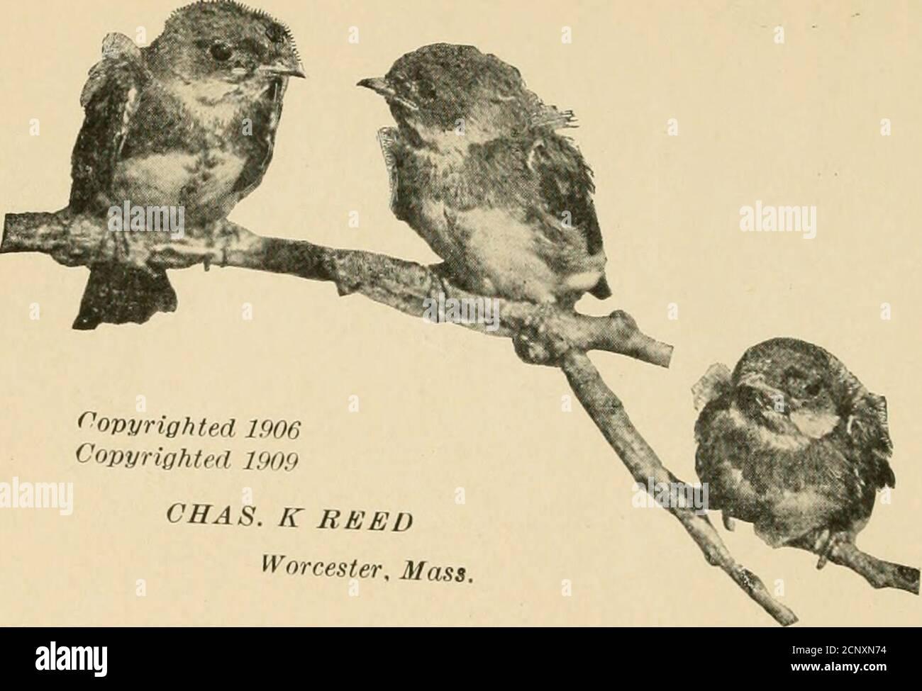 . Guide d'oiseaux . ÉDITION RÉVISÉE mrd Quide Land Birds East of the Rockies PRÉPARANT LE PETIT-DÉJEUNER (deux adultes Bruant la teigne en morceaux pour nourrir les jeunes.) ^ B I R D G U I D E PARTIE 2 OISEAUX TERRESTRES À L'EST DES ROCHEUSES 5>»-^ & GT; DES PERROQUETS À BL LEBIRDS PAR CHESTER A. Reed^ auteur de North American Biris ufs, et, avec Frank M. Chapman, de Color Key to North AmericanBirds. Conservateur en ornithologie, Worcester Museum of Natural History TORONTO . /Mo 4 rv 4AFT^ LA COMPAGNIE DE LIVRES DE MUSSON,! /,JJ 1 G j38f 1: Limité. ^ i/BRARE5. (Droits d'auteur 1906Copyrighted 190!) CAHAS. K REED Worcester, Mass Pla Banque D'Images