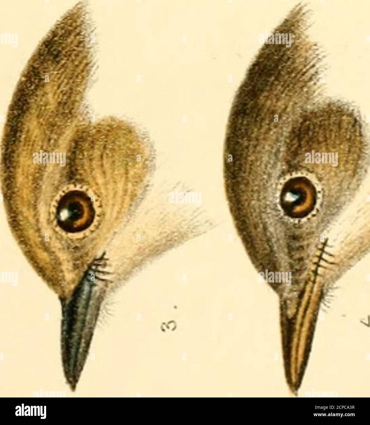. Un manuel des oiseaux britanniques, montrant la répartition des espèces résidentes et migratrices dans les îles britanniques, avec un index des enregistrements des visiteurs rarer . tn ►^ ro dx 0+ fc: rt •si? u ^- »—. rt • — u ^ sj o rt 00 FINCHES 81 il est ainsi appelé par Pennant, Brit. Zool., 1768; par Gilbert White (lettre viii. À Barrington), par mon-tagu ( Orn. Suppl Diet, and Letter to White, 21stMay 1789), et par Markwick (observations onmigration, Trans. Ligne SOC, 1789, p. 125). Dans le nouveau général Hist. Oiseaux, 2 vol. 12mo, 1745, il est mentionné comme Aherdavine, dans certains endroits appelé theBarley-oiseau. Rutty ( N Banque D'Images