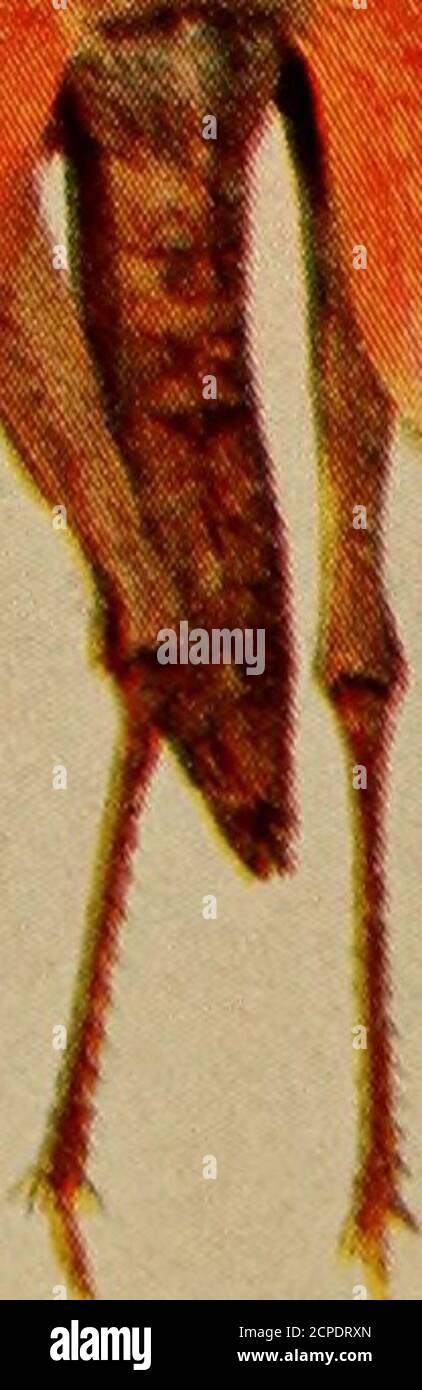 . Oiseaux et nature . .*^.4. i m m Hippiscus ne^lectus.Dissostcira Carolina. h;W SAUTERELLES AMÉRICAINES COMMUNES. Taille de vie. ARI) lua tcnolirosa. Schistocrrca aiiu-ricaniu. COPYRIGHT 1904, PAR Molanoplus differalis.Hippiscus tiituberculatus. QUELQUES SAUTERELLES AMÉRICAINES. Les sauterelles sont le plus com-mon, ainsi que le plus connu, popu-larement, de la grande branche des insectes.ils peuvent être vus dans chaque champ, dans la forêt, au bord de la route et même dans les chantiers de la ville. Dans les mois chauds d'août-ust, la chanson du criquet peut être entendue, à ce moment-là, on nous dit par le fermier-naturaliste, que nous allons h. Banque D'Images