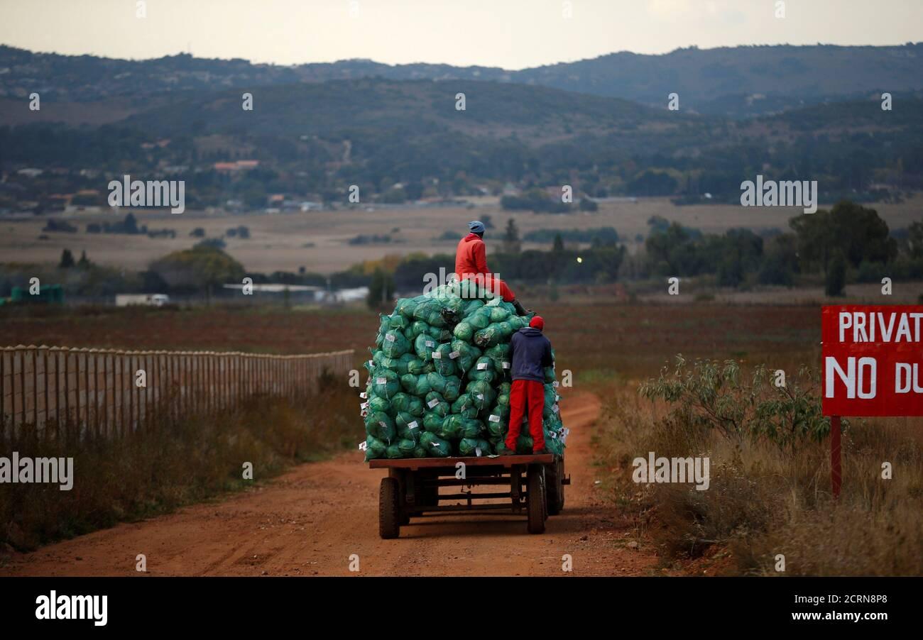 Les ouvriers agricoles récoltent des choux dans une ferme d'Eikenhof, près de Johannesburg, en Afrique du Sud, le 21 mai 2018. REUTERS/Siphiwe Sibeko Banque D'Images