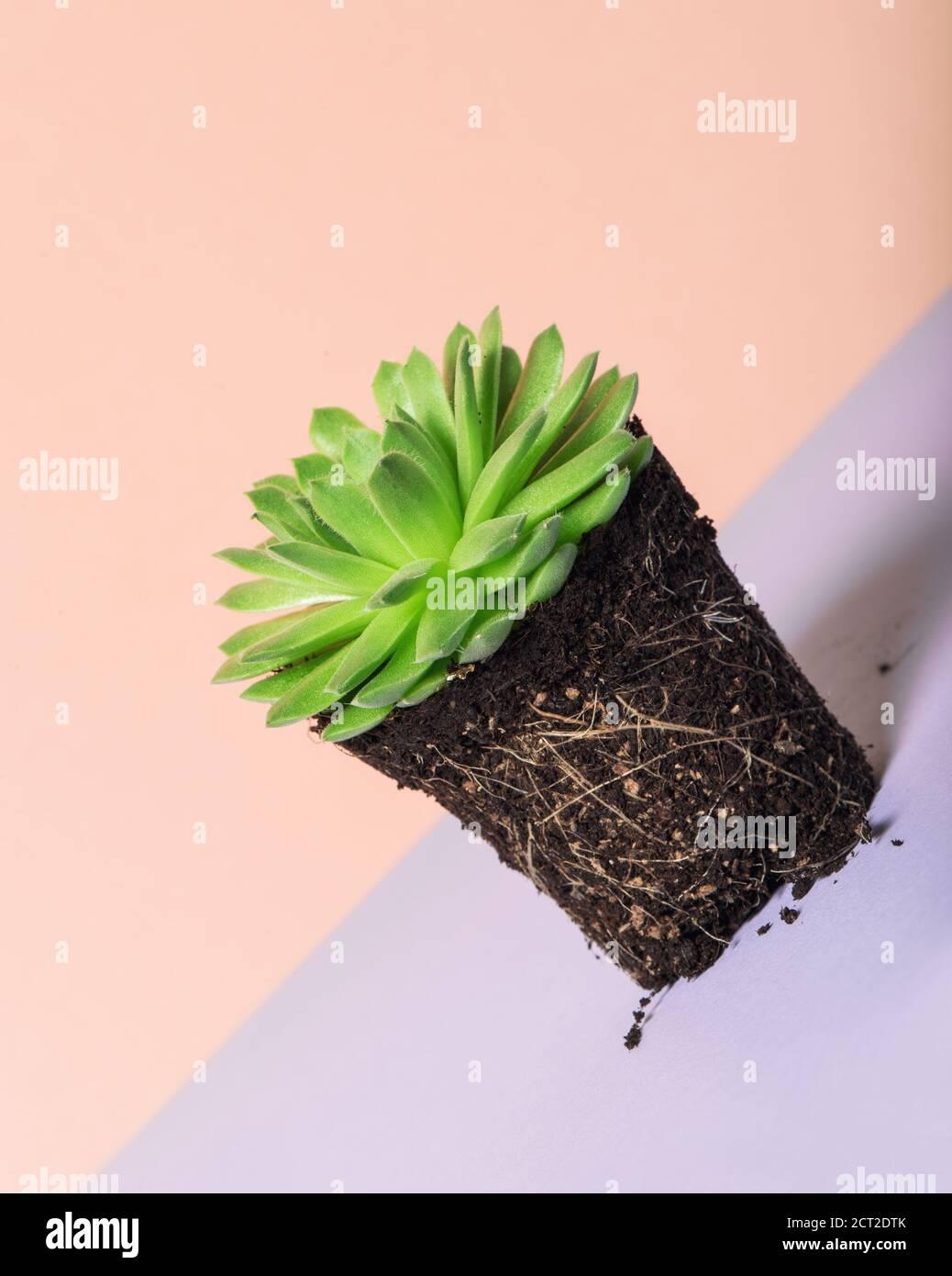Plante succulente de sempervivum. Décoration florale sur fond de couleur Banque D'Images