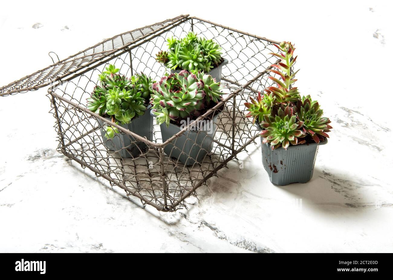 Plantes succulentes de sempervivum. Décoration florale sur fond de marbre blanc Banque D'Images