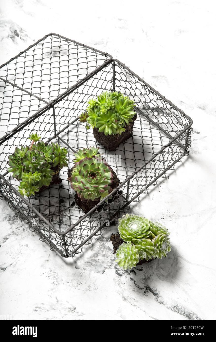 Plantes succulentes sur fond de marbre. Décoration florale minimaliste Banque D'Images