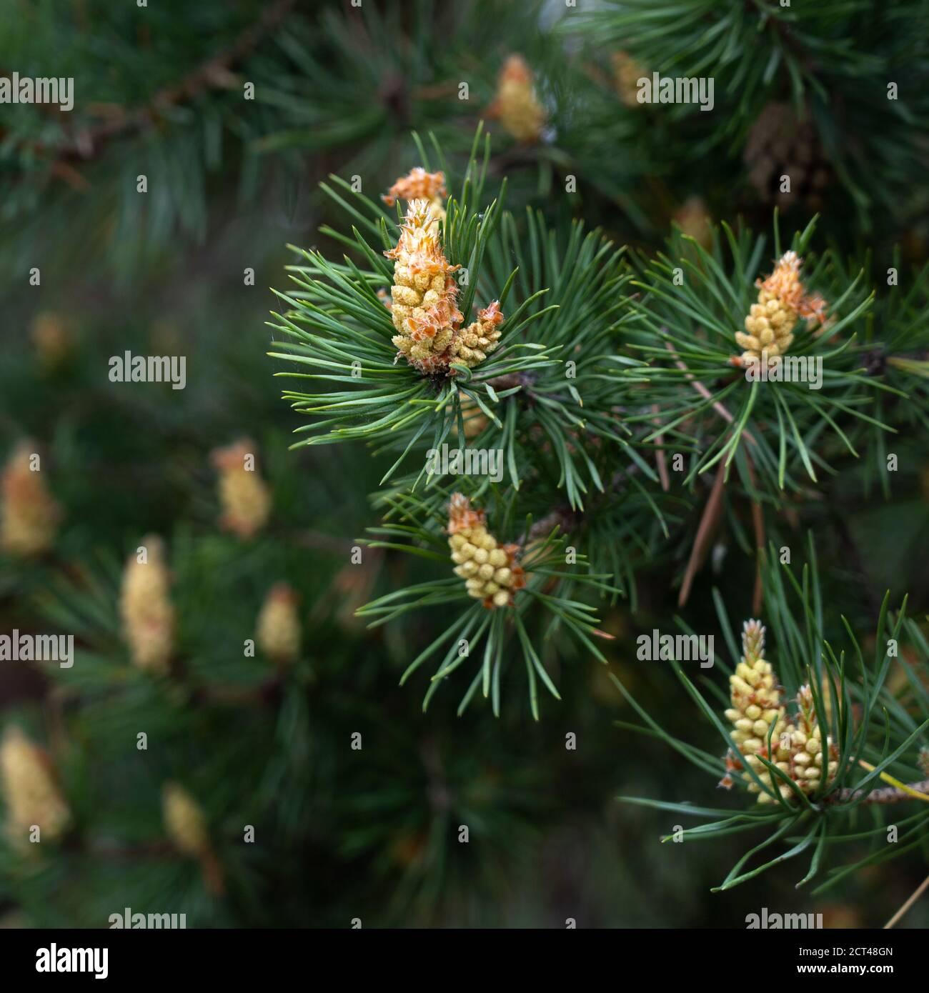 Bourgeons de pin. Un nouveau germe sur une branche de pin. Macro DOF peu profonde Banque D'Images