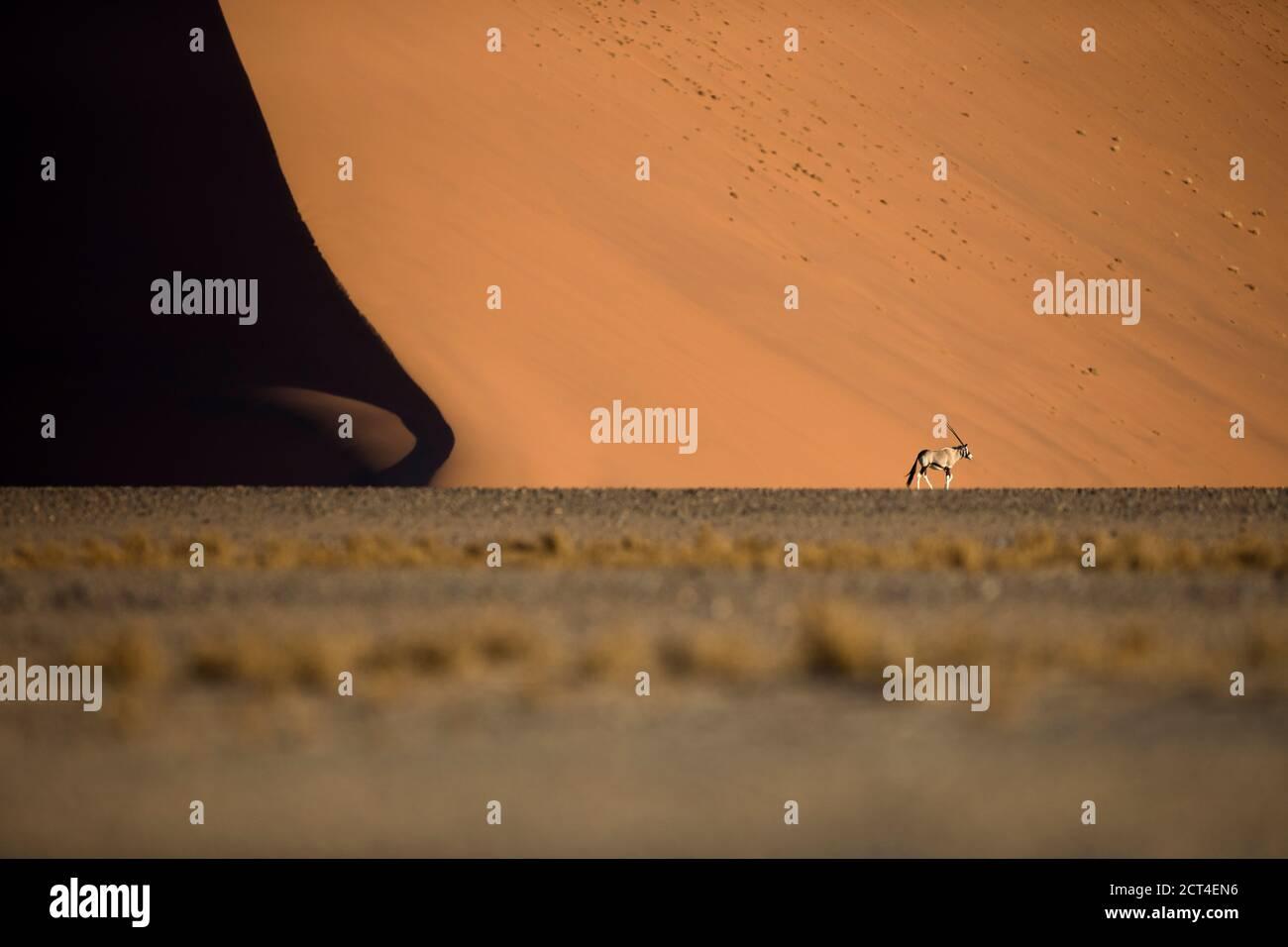 Un seul oryx ou antilope Gemsbok dans les célèbres dunes de sable de Sossusvlei, région de Hardap, Namibie. Banque D'Images