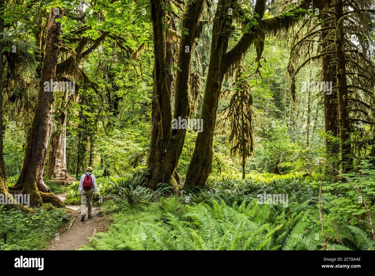 Un homme randonnée sur le sentier de la rivière Hoh, forêt tropicale de Hoh, Parc national olympique, Washington, États-Unis. Banque D'Images