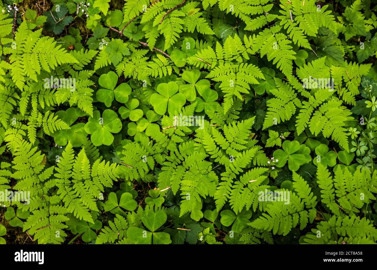 La belle couverture de la forêt tropicale de Hoh. Parc national olympique, Washington, États-Unis. Banque D'Images