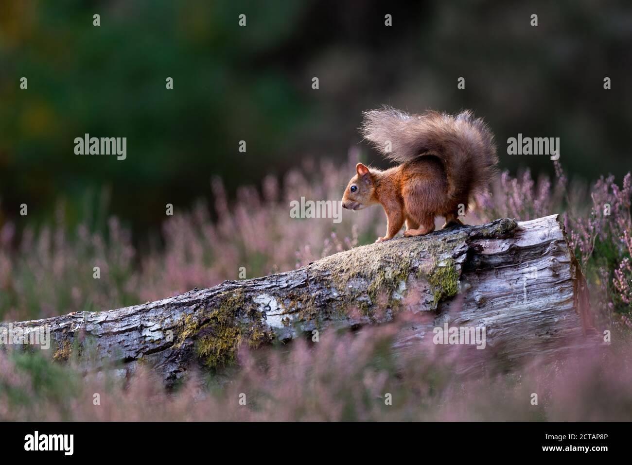 Écureuil roux (Sciurus vulgaris) en bruyère Banque D'Images