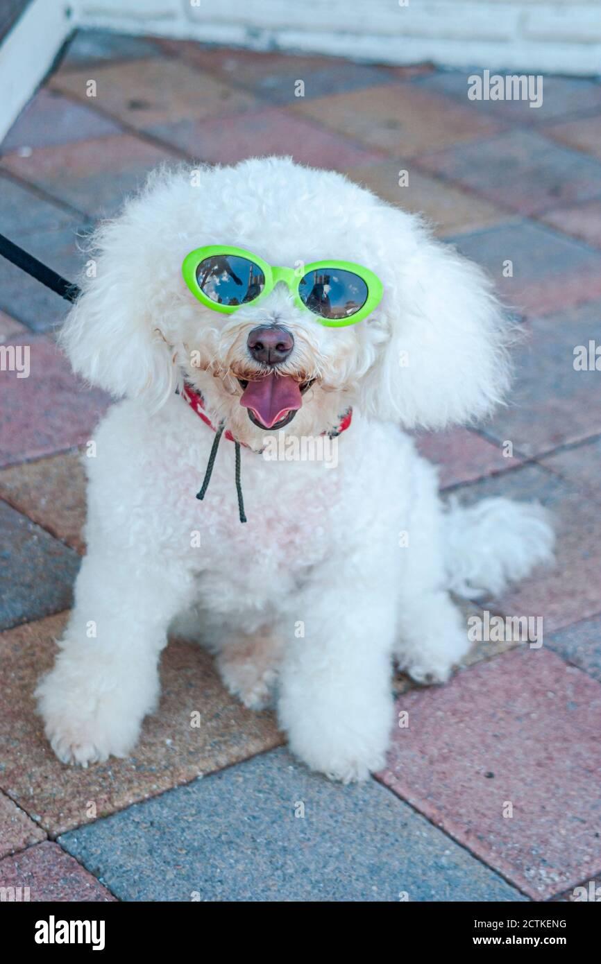 Floride ft. Fort Lauderdale, foire artistique de la fête du travail de Las Olas, porte un animal de compagnie portant des lunettes de soleil, américains, humoristiques, Banque D'Images
