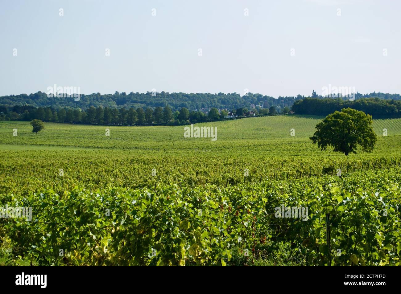 Vignes au domaine Denbies Vineyard à Surrey, Royaume-Uni Banque D'Images