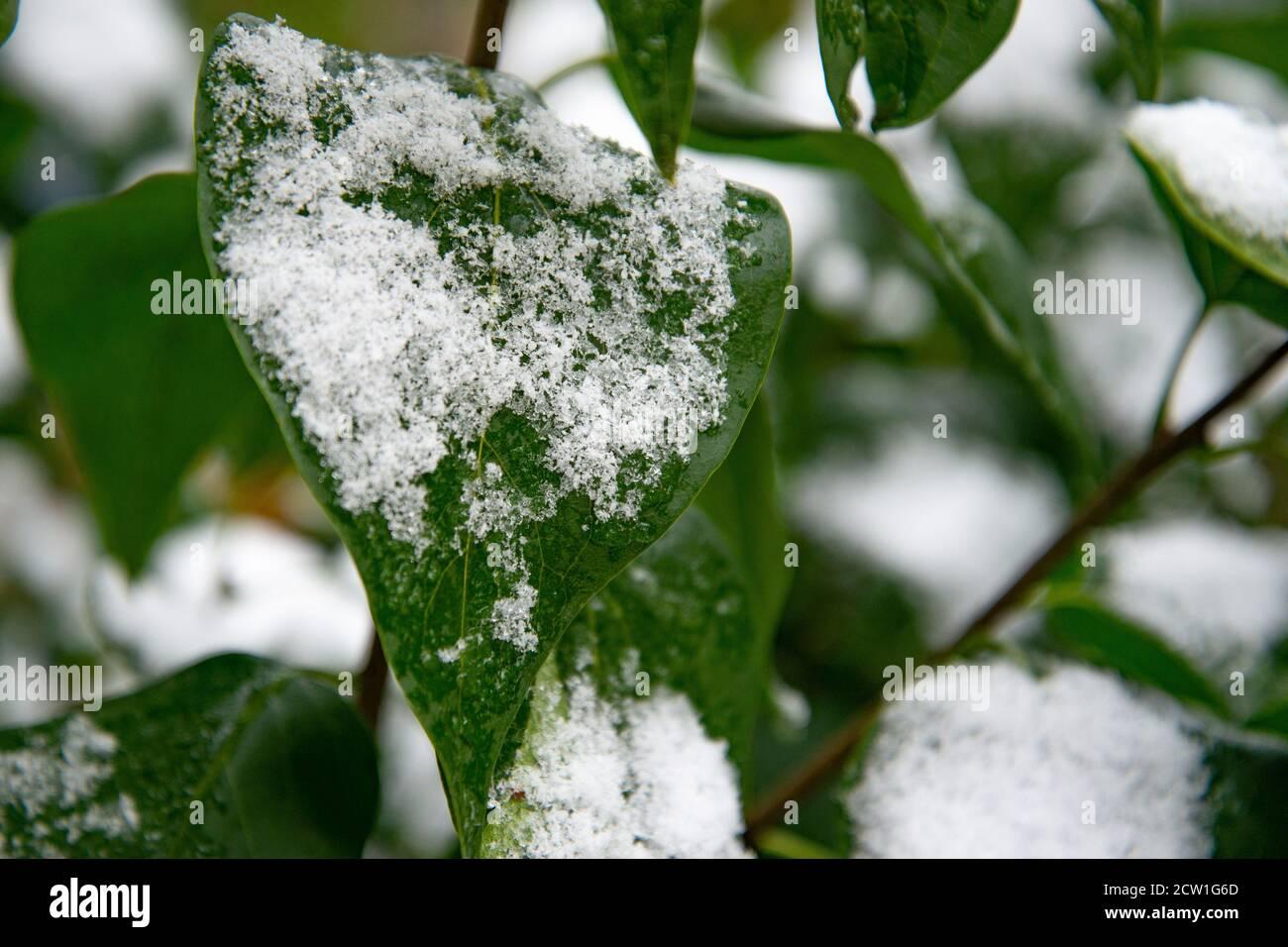 Coup de froid soudain. Les feuilles vertes des arbres sont recouvertes de neige Banque D'Images