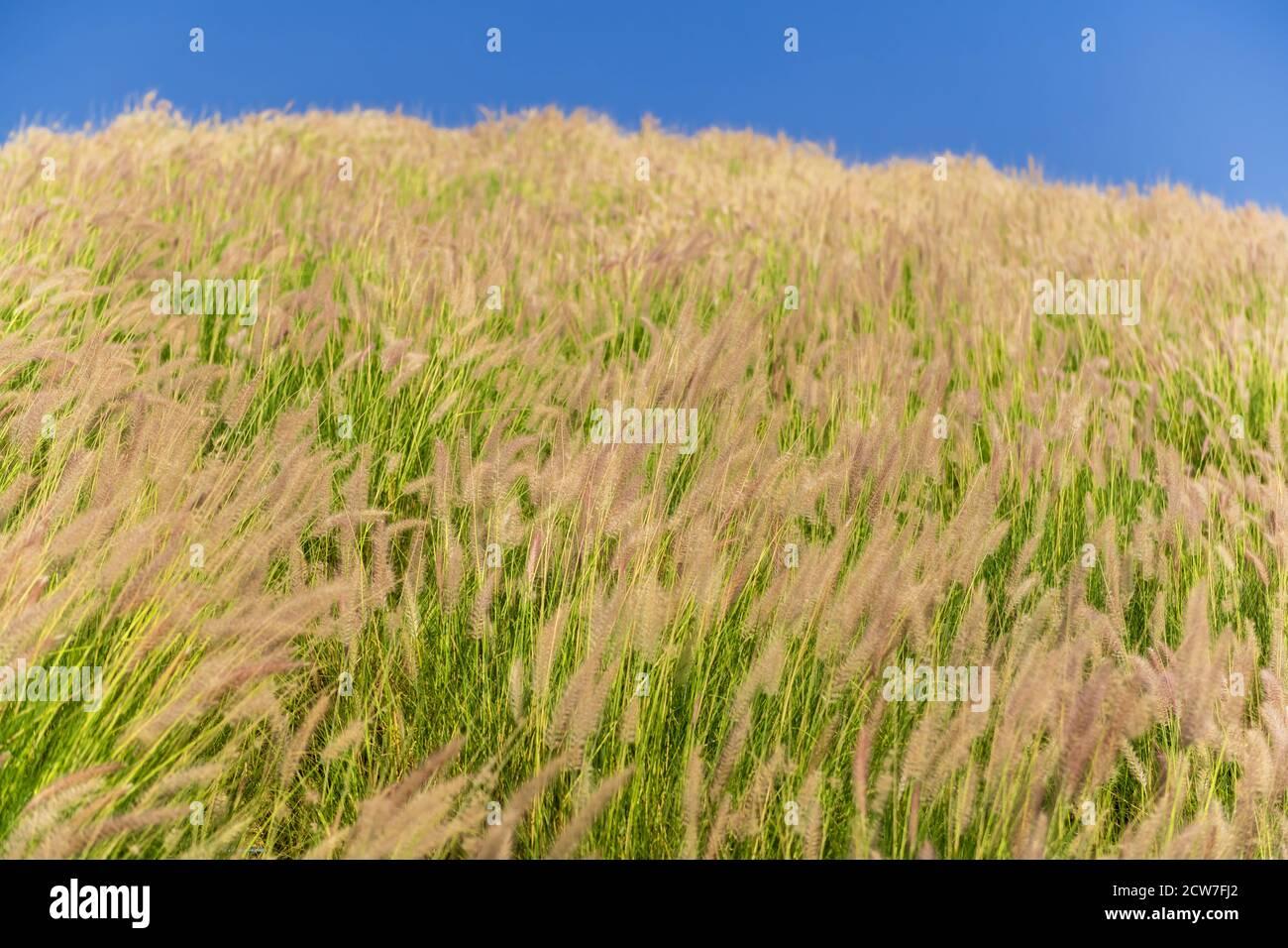 Lames d'herbe en plumes dans un pré. Banque D'Images