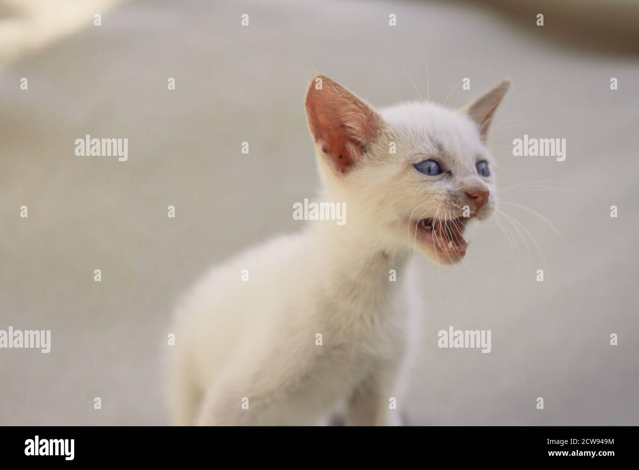 Blanc moelleux chiot chat mewing Banque D'Images