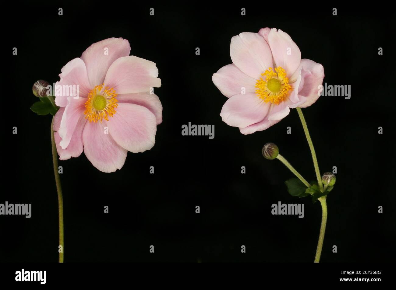 Deux fleurs d'anémone japonaise rose pastel, bourgeons et feuillage isolés contre le noir Banque D'Images