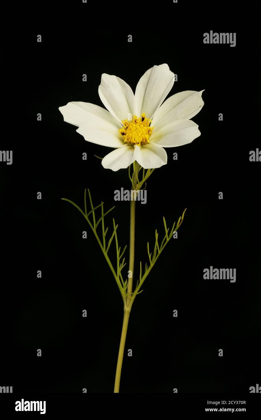 Fleur de cosmos blanc et feuillage isolés contre le noir Banque D'Images