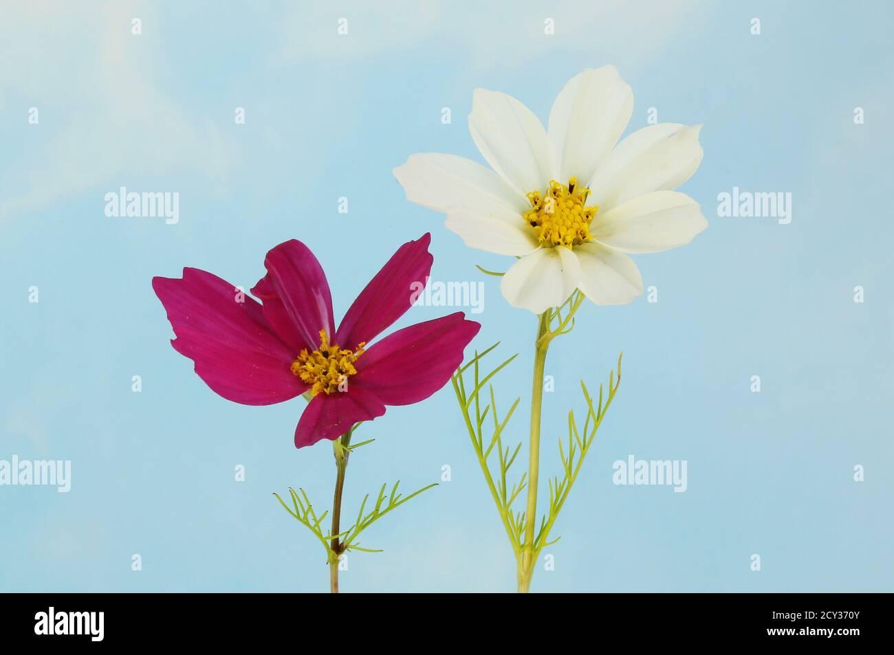Fleurs de cosmos blanc et violet et feuillage contre un bleu ciel Banque D'Images