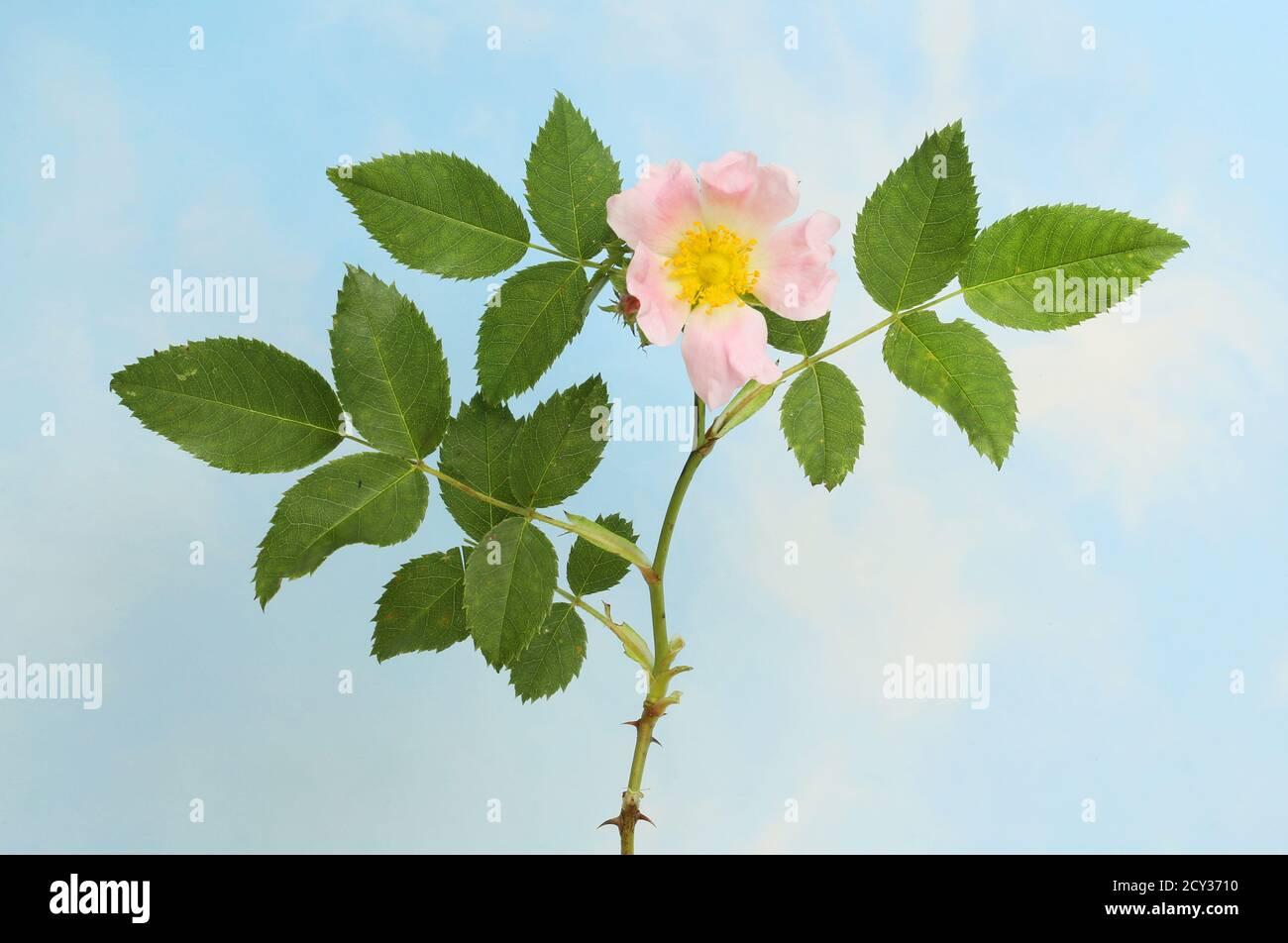 Fleur de rose de chien et feuillage contre un ciel bleu Banque D'Images