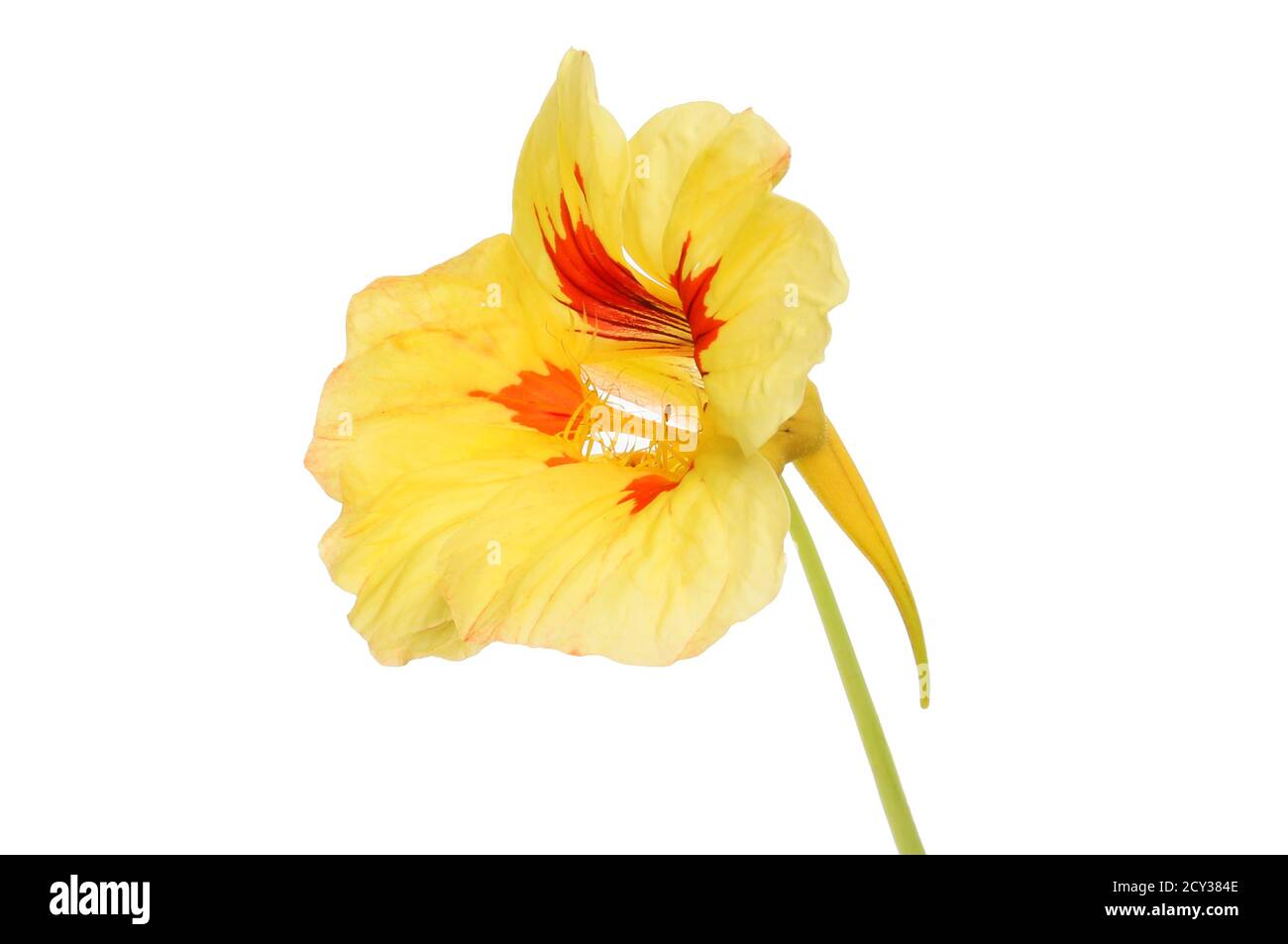 Fleur de nasturtium jaune et rouge isolée contre le blanc Banque D'Images