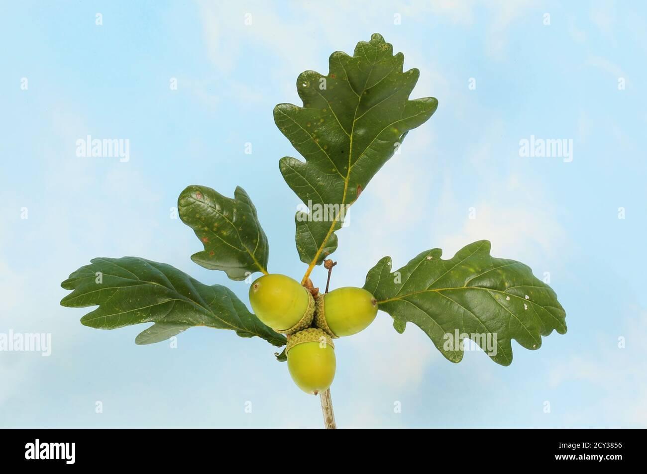 feuilles de chêne et glands contre un ciel bleu Banque D'Images