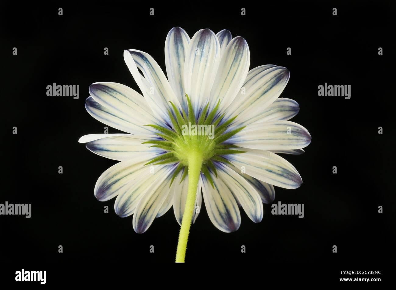Dessous d'une fleur d'ostéospermum isolée contre le noir Banque D'Images