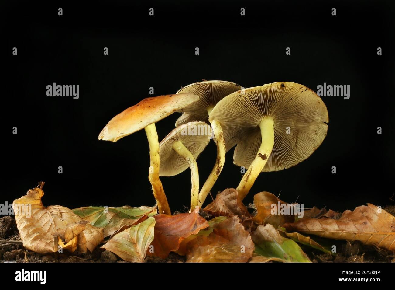 Groupe de tabourets de crapaud et feuilles d'automne sur fond noir Banque D'Images