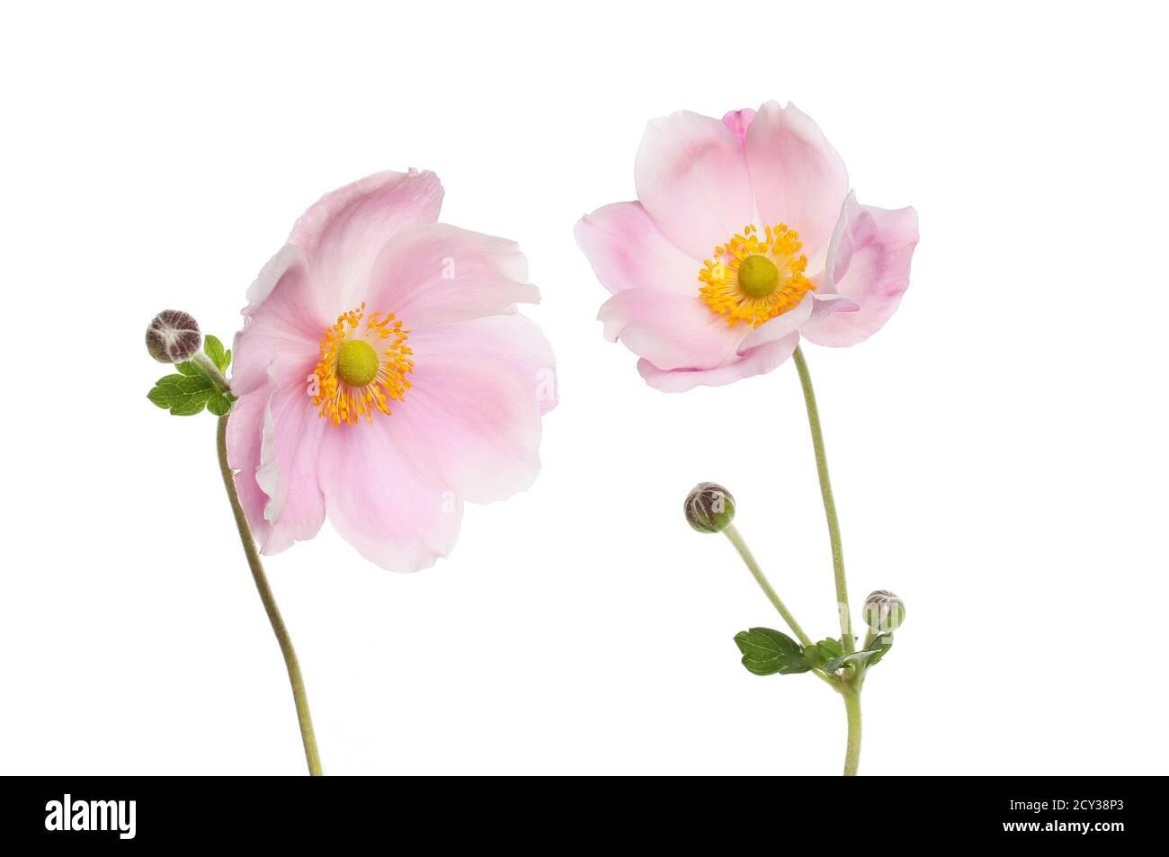 Deux fleurs d'anémone japonaises, feuilles et bourgeons isolés contre du blanc Banque D'Images