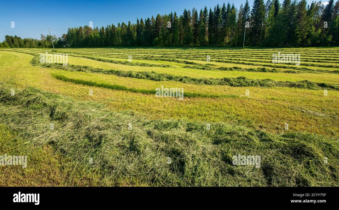 Le foin récemment coupé pour l'alimentation des bovins est en train de sécher à l'extérieur du champ et attend la mise en balles à l'été , en Finlande Banque D'Images
